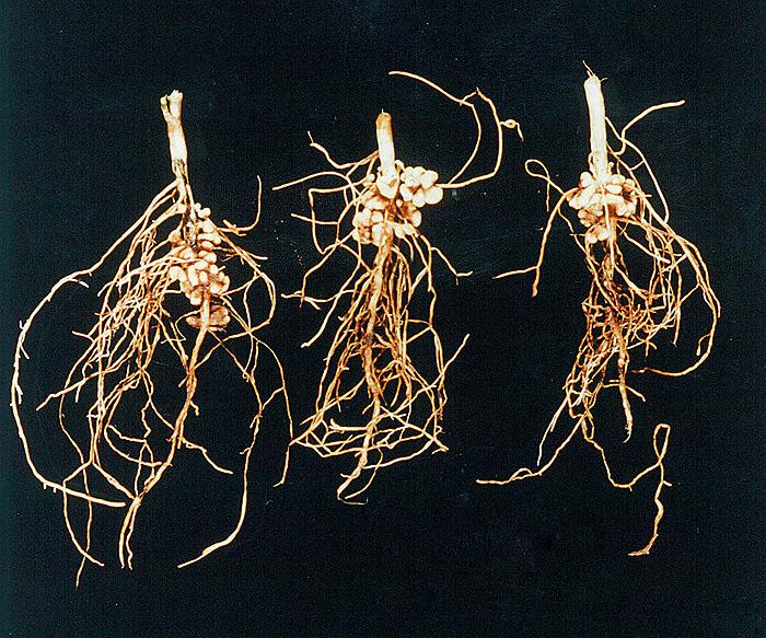 Εικ.3 Οζίδια ρίζας Plantago lanceolate